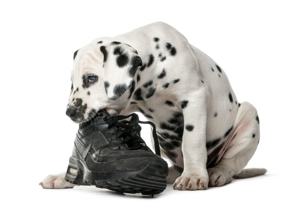 Dog chewing a shoe