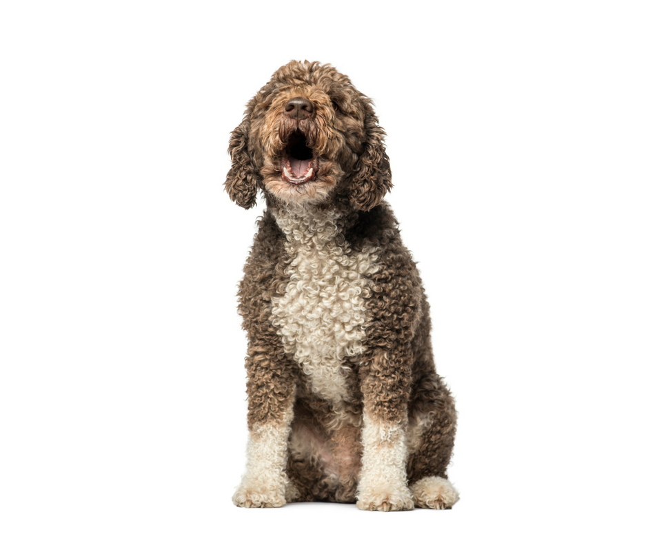 Brown, curly-haired dog